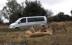 Nữ du khách ngồi trong ô tô vẫn bị sư tử cắn chết