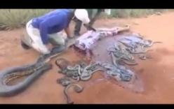 Kinh hãi cảnh hàng trăm rắn con lúc nhúc chui ra từ bụng mẹ