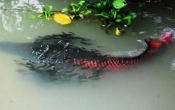 Đổ xô xem đàn cá hải tượng giá hàng tỷ đồng ở Tây Ninh