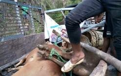 Sập cầu treo ở Kon Tum, người và đàn bò bị hất tung xuống suối