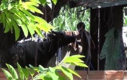 Video: Bắt quả tang thương lái bơm nước vào trâu bò