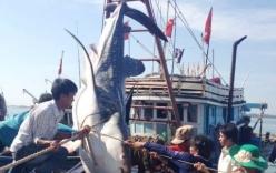 Ngư dân chở cá voi nặng 500kg vào đất liền chôn cất