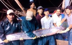 Cá mái chèo mắc lưới ngư dân Nghệ An