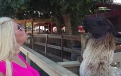 Cố hôn lạc đà, người phụ nữ bị phụt nước bọt đầy mặt