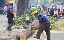 Hà Nội thừa nhận nóng vội trong việc chặt hạ, thay thế cây xanh