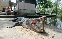 Bắn hạ cá sấu cắn chết một người đàn ông trong hồ nước