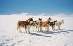 Những chú chó bị bỏ rơi ở Nam Cực khiến nhiều người xúc động