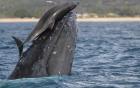 Cảnh cá voi nô đùa với cá heo hiếm thấy