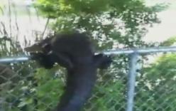 Video: Cá sấu trèo rào bỏ trốn khi bị truy đuổi