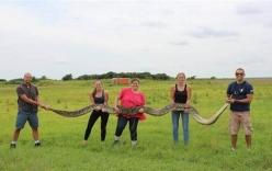 Bắt được trăn khổng lồ dài gần 6 mét, nặng 60 kg