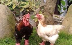 Nông dân nuôi gà thu tỷ đồng, giới văn phòng phát sốt