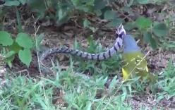 Video: Chim xanh hiếu chiến, mổ liên tiếp vào đầu rắn độc