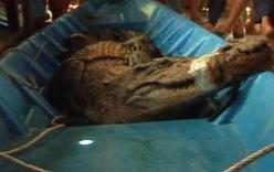 Hàng chục người vây bắt cá sấu dài 2,2m, nặng hơn 50kg