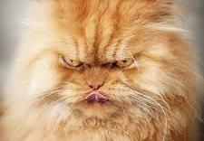 Video: Cận cảnh chú mèo mập ú nổi giận