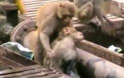 Chú khỉ thông minh tìm mọi cách cứu bạn bị điện giật