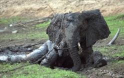 Tuyệt vọng giải cứu voi con đang hấp hối trong bùn lầy