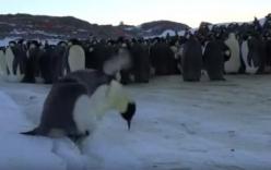 Những pha vấp ngã hài hước của chim cánh cụt