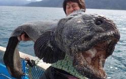 Bắt được cá chó sói kì dị ở Nhật Bản