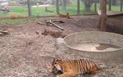 Nữ nhân viên vườn thú bị hổ vồ đến chết