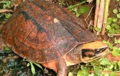 Báu vật rùa vàng nửa tỷ đổi đời nông dân
