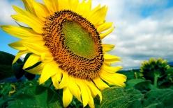 Hoa hướng dương và bài thuốc chữa bệnh hiệu quả