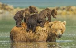 Sư tử, sơn dương mẹ quyết chiến với trăn khổng lồ để cứu con