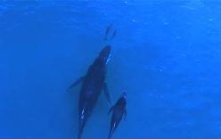 Kỳ thú cảnh mẹ con cá voi tung tăng theo đuôi mẹ con cá heo