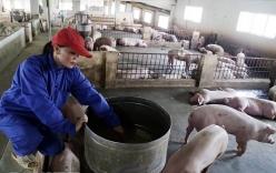 Nữ đại gia không biết chữ thu hàng tỷ đồng từ trang trại lợn