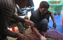 Dân nuôi tôm điêu đứng vì tôm hùm rớt giá mạnh