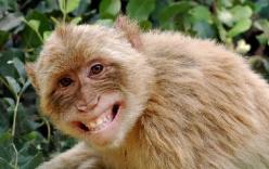 Thú vị với hình ảnh chú khỉ láu cá bắt nạt chú chuột lang hiền lành