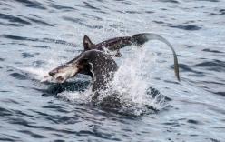 Sư tử biển ngoặm cổ cá mập nhám quăng quật tới chết