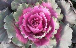 Bí đội nón, cải hoa hồng