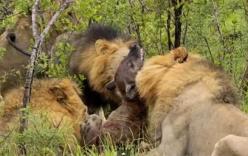 Sư tử cắn chết linh cẩu con để thị uy, linh cẩu mẹ thất thần