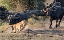 Trâu rừng điên loạn rượt đuổi bầy sư tử chạy thục mạng