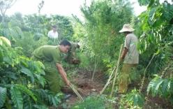 Lợi dụng rừng hoang, rẫy vắng để trồng cần sa