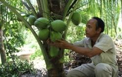 Dừa sáp 200 nghìn đồng/quả đắt khách, nông dân thu lãi