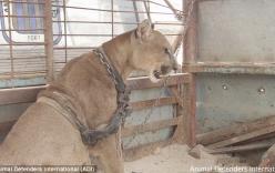 Video: Sư tử núi được trả tự do sau 20 năm giam cầm