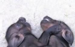 Video: Cặp lợn song sinh dính liền thân hiếm gặp