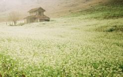 Mộc Châu lung linh, mờ ảo mùa hoa cải trắng