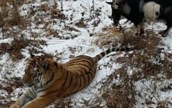 Con hổ sợ hãi khi đối mặt với con mồi trong chuồng