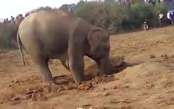 """Xúc động cảnh voi mẹ """"vật vã"""" giải cứu voi con bị rơi xuống hố"""