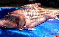 Bắt được cá trà sóc khổng lồ nặng 60kg trên sông Mê Kông