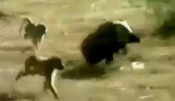 Màn rượt đuổi ngoạn mục của chó sói và lợn rừng