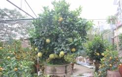 Cây bưởi bonsai cho thuê chơi Tết, trả trăm triệu không bán