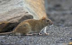 Bé gái 4 tháng tuổi bị chuột cắn tử vong  khi mẹ vắng nhà