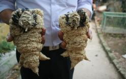 Đôi chân gà Đông Tảo khủng 30 triệu ngâm trong bình