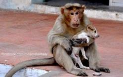 Bộ ảnh cảm động về chú khỉ chăm sóc chú chó mồ côi