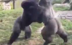 Hai chú khỉ đột đấm nhau như... võ sĩ quyền anh
