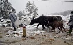 Người dân Sa Pa mang trâu bò vào nhà ở cùng tránh rét