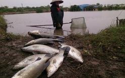 Thái Bình: Cá chết rét hàng loạt, nông dẫn mất trăm triệu